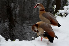 Egyptian Geese in the Snow (A-Lister Photography) Tags: christmas uk winter snow cold bird london classic nature weather horizontal river festive season landscape countryside nikon wildlife traditional seasonal icon snowing iconic christmascard 2013 coldtemperature adamlister nikond5100 alisterphotography egyptiangeeseinthesnow