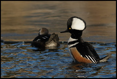 Hooded Merganser (Mark Schwall) Tags: male bird duck newjersey nikon nj waterfowl manualfocus oceancounty hoodedmerganser lophodytescucullatus tomsriver d300s nikkor600mmais