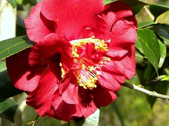 Ruby Red Frills (ChicaD58 (busy)) Tags: winter flower nature outdoors bush blossom bloom camellia shrub redflower perennial redbloom 125b awesomeblossoms flickrflorescloseupmacros dausettrailsnaturecenter