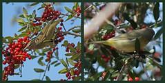 no idea--> orange-crowned warbler (mimbrava) Tags: bird mimbrava arr cnc warbler allrightsreserved roswellga orangecrownedwarbler chattahoocheenaturecenter mimeisenberg mimbravastudio oreothlypiscelata