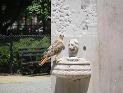Christo at the General Slocum memorial (Goggla) Tags: nyc new york manhattan east village tompkins square park urban wildlife bird raptor red tail hawk adult male christo molt molting general slocum disaster memorial water fountain goglog