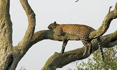 Snoozing Leopard.Masai Mara. (welloutafocus) Tags: leopard cats africa kenya wildlife