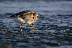 DRL_1721 (romain-dreux-photo) Tags: birds nature canada quebec wader