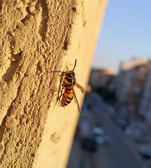 2016-07-26 19.32.07 (shadyzafer) Tags: bee samsunggalaxynote4 note4 eskiehir
