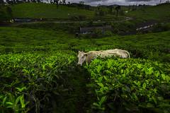 India (Enricodot ) Tags: enricodot color colors green garden tea landscape plantation cow