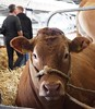 (hilaryelliott2) Tags: agriculture farming farmer farm scotland highlandshow royalhighlandshow bullock bill cows cow