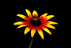 Gloriosa Daisy (ashockenberry) Tags: daisy flower floral nature naturephotography gloriosa black eyed susan ontario flora