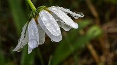 Flower (Oerliuschi) Tags: stackaus32bildern flower wassertropfen blte waterdrops weis natur margerite daisy