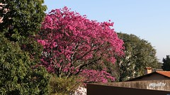 Spring at the Iguassu Falls. (mijailtario86) Tags: fozdeiguaz naturaleza rbol rboles primavera natureza rvore rvores roxa rosado fozdoiguau verde iguassufalls mijailiv nature tree pink spring trees green