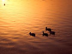 Ataredeceres 2 (Dgueza) Tags: naranja patos atardecer orange sunset olympus