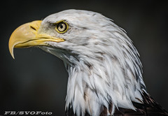 Bald Eagle (rogerbo69) Tags: baldeagle weiskopfseeadler vogel byrd greifvogel byrdofprey natur wwwfacebookcomsvofoto