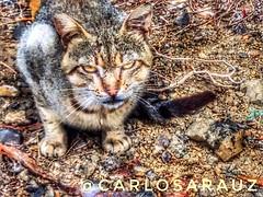 Fashion cat (carlosarauz) Tags: animal lamanga gato cst