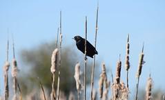 Red-Winged Blackbird (careth@2012) Tags: bird blackbird redwingedblackbird nature wildlife beak feathers