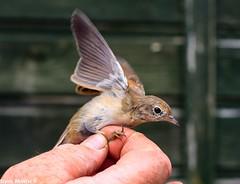 White Throat (Sophiee_webster) Tags: bird whitethroat uk northumberland lowhauxley nature wildlife naturereserve birdwatching birdbanding birdringing conservation study bto