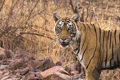 T 83 Lightning (sunnyoberoi) Tags: tiger mammal stripes royalbengaltiger thrill safari travel nature ranthambore rajasthan india wild cat photography wildlife