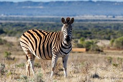Standing in the field and eating grass - Burchell's Zebra (charissadescande) Tags: africa stripes safari herd nature background animal burchell zebra wild wildlife herbivore striped natural african wilderness grassland outdoors travel grass quagga mammal addo easterncape southafrica zaf