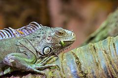 Marineland lizard (MartinHots) Tags: indoor reptile stare eyes eating food scales lizard iguana talons skin green branch tree habitat claws