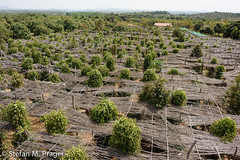 422-Kamb-Kep-014.jpg (stefan m. prager) Tags: cambodia gewrz kambodscha kep landwirtschaft ngovhengphnomvoulnaturalpepperplantation nikond810 pfeffer
