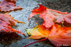 Autumn colors (Joni Salama) Tags: maa syksy kasvit oranssi luonto lehti helsinki uusimaa finland autumn fall nature