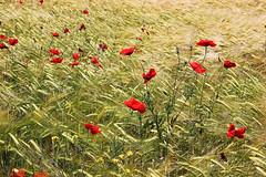 """Georgia On My Mind"" (adrian_0ff) Tags: amapola flores flower field campo trigo wind nature"