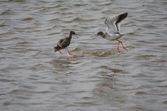 Clash of the Redshanks (ChrisPy63) Tags: nikond5200 greatbritishnature outside uknature britishbirds rspbnaturereserves rspbleightonmoss lancashire nature birds bird redshank wader