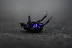 Helpless (Tjidididi) Tags: gillalila fotosondag beetle helpless fs160925