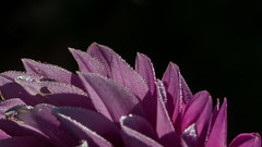 morning dew (++sepp++) Tags: garten natur garden nature graben bayern deutschland de morgentau morningdew macro makro closeup nahaufnahme dahlia dahlie blte blossom
