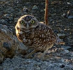 Burrowing Owl--Athene  cunicularia (Polioptila caerulea) Tags: burrowingowl athenecunicularia athene radiostationrd solanocounty california buor