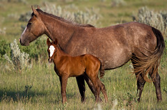 Holly and Mary (sarasonntag) Tags: mare holly theodore roosevelt national park filly maryland mary rose gray blaze 2016 north dakota foal wild horses