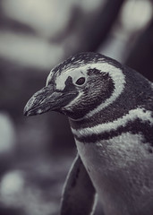 Magellanic Penguin (z_a_r_a) Tags: bird nature penguine magellanic portrait closeup black white bokeh artistic d750