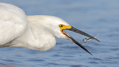 Playing with food! (bmse) Tags: bolsa chica fish fishing snowy egret beak open flip canon 7d2 400mm f56 l bmse salah baazizi wingsinmotion
