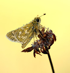Hesperia comma (~Simmy~) Tags: lichtstimmung erwachen lichteffekt lichtschein natur naturaufnahme naturfotografie naturfoto nature wildlife wildlifefotografie kullerauge trollig morgens makro macro makroaufnahme makrofotografie tau tautropfen tropfen wassertropfen trpfchen schmetterling tagfalter dickkopffalter kommadickkopffalter falter insekten pflanzen pflanze gelb braun klein hesperia comma sommer magerrasen wiese nikon simonenoll sigma150mm morgenlicht morgenstimmung morning nahaufnahme naturephotography macrophotography insekt insect d300s outdoor summer closeup