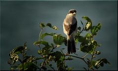 Lanius minor (Nickerzzzzz - Thanks for stopping by :)) Tags: nickudy plymouth devon photograph lessergreyshrike laniusminor bird beak perch wildlife wings nature feathers animal outdoor