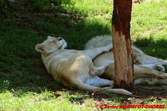 Canberra Zoo - White Lion (soyouz) Tags: aus australiancapitalterritory australie curtin geo:lat=3529997467 geo:lon=14907008467 geotagged animals lion canberra australiel
