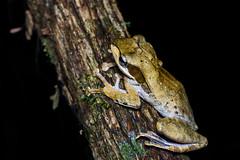 Polypedates macrotis - Bongao tree frog - Khao Luang National Park (Rushen!) Tags: wildlife wild tamron tamron90mm 90mm nikon d800 bongaotreefrog khaoluangnationalpark krungchingwaterfall polypedates polypedatesmacrotis amphibia frog treefrog thailand rushenbilgin