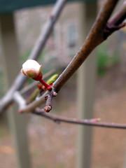 20120210_sapling_bud_01 (caligula1995) Tags: 2012 plumtree plumflower plumbud