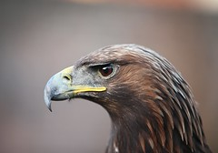 Golden Eagle (Raymond Dixon) Tags: bird eye closeup canon eos golden eagle beverley goldeneagle birdofprey falconry shieldofexcellence eoscanon5dmkii mygearandme raymonddixon