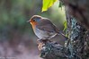 Perched (RTA Photography) Tags: winter tree bird robin wildlife small hackney redbreast marshes finegold amazingnature goldwildlife photographyforrecreationl1 photographyforrecreationl2 amazingnaturelevel2 amazingnaturelevel3 amazingnaturelevel4 chariotsofnaturelevel3 chariotsofnaturelevel1 chariotsofnaturelevel2