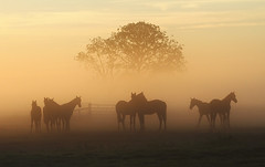 Horses (Pepijn Hof) Tags: morning light summer horses horse mist holland tree nature field fog canon landscape licht nederland natuur 100mm 7d fields polder breathtaking ochtend landschap paard zuidholland hekendorp haastrecht vlist