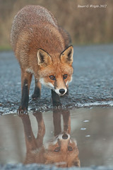 Red Fox (Stuart G Wright Photography) Tags: red wildlife cannock fox chase wwwstuartgwrightcom