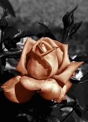 Une ... (Daniel.35690) Tags: fleurs lumix souvenirs lumière bretagne nb panasonic amour promenade campagne plaisir rennes flowerpower ballade dmc 2012 regard spectacle saumon recherche gouttedeau détente nouveauté illevilaine acigné fz45 acignéfrance quefairelesamedisoir expoacigné autourdunecouleur