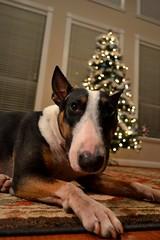 [51 52] (miss courtenay) Tags: christmas xmas dog tree english nose focus holidays bokeh adorable bull edward terrier tricolor bullterrier 2012 week51 ilovemydog focus52 weekofdecember16 adorabull 522012 52weeksthe2012edition