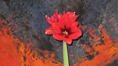 Happy Christmas to all! (catarina.berg) Tags: christmas red flower amaryllis christmasgreetings