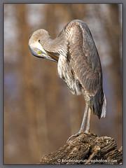 Great Blue Heron (kootenaynaturephotos.com) Tags: bird heron birds bc greatblueheron ardeaherodias westcreston featuredonthefrontpageofthenatures~~greenpeace