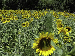 """Out of Line Sunflower • <a style=""""font-size:0.8em;"""" href=""""http://www.flickr.com/photos/44019124@N04/8310971436/"""" target=""""_blank"""">View on Flickr</a>"""