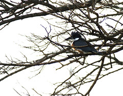 Belted Kingfisher (kconnelly03) Tags: newjersey nj beltedkingfisher