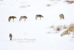coyotebehavior001 (Deby Dixon) Tags: travel nature landscape photography nationalpark wolf wildlife moose fox yellowstonenationalpark wyoming bison wyo bullelk debydixonphotography