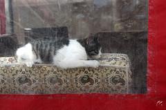*** (Bahram Naghibzadeh) Tags: cat iran kitty sleepy mashhad khorasan    torghabeh khorassan