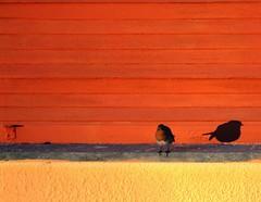 Il davanzale (meghimeg) Tags: shadow red sun rot window robin yellow ombra finestra gelb giallo sole rosso windowsill royo 2012 imperia pettirosso encarnado davanzale