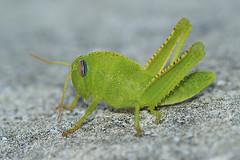 Anacridium aegyptium - Egyptische treksprinkhaan (henk.wallays) Tags: france up close cricket grasshopper rousson egyptische anacridium aegyptium sprinhaan treksprinkhaan orthopthera